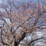 【桜が咲きました】